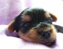 Foto 6 Yorkshire Terrier Welpe (Rüde) aus seriöser VDH-Urlaubszucht sucht neues Zuhause
