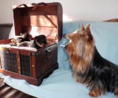 Foto 2 Yorkshire-Terrier-Welpen