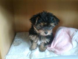 Foto 4 Yorkshire Terrier Welpen