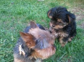 Foto 7 Yorkshire Terrier Welpen