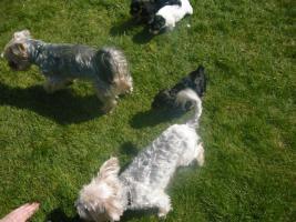 Foto 6 Yorkshire Terrier Welpen