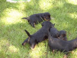 Foto 5 Yorkshire Terrier Welpen