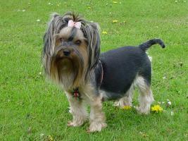 Foto 3 Yorkshire Terrier Welpen