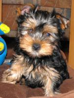 Foto 2 Yorkshire Terrier Welpen