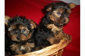 Foto 2 Yorkshire Terrier Welpen 9 Wochen 250, - Euro mit Ahnentafel,