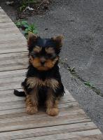 Yorkshire Terrier Welpen (H�ndinnen)