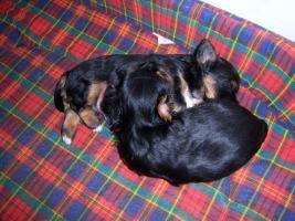Yorkshire Terrier Welpen R�den