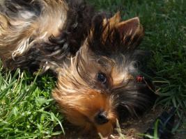 Yorkshire Terrier Welpen R�den VDH/FCI