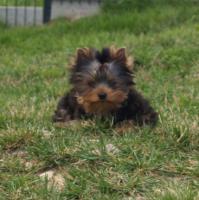 Foto 2 Yorkshire Terrier Welpen R�den VDH/FCI