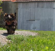 Foto 3 Yorkshire Terrier Welpen R�den VDH/FCI