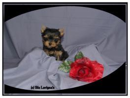 Yorkshire Terrier Welpen VDH FCI