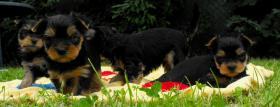 Foto 4 Yorkshire Terrier Welpen aus VDH Zucht