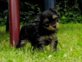 Foto 5 Yorkshire Terrier Welpen aus VDH Zucht