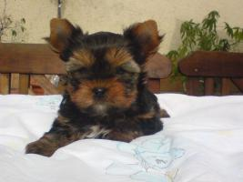 Yorkshire Terrier Welpen black and tan
