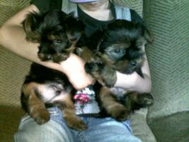 Foto 3 Yorkshire Terrier Welpen in gute H�nde zu verkaufen