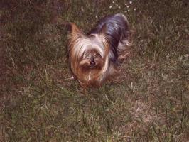 Yorkshire Terrier-Welpen in liebevolle Hände abzugeben