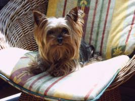 Foto 3 Yorkshire Terrier-Welpen in liebevolle H�nde abzugeben