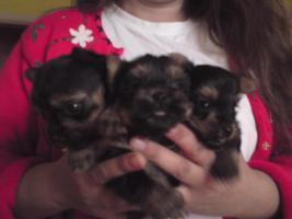 Foto 4 Yorkshire Terrier-Welpen in liebevolle H�nde abzugeben
