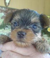 Yorkshire Terrier Welpen zu verkaufen!