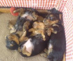 Foto 2 Yorkshire Terrier Welpen zu verkaufen!