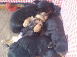 Foto 3 Yorkshire Terrier Welpen zu verkaufen!