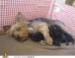Foto 4 Yorkshire Terrier Welpen zu verkaufen!