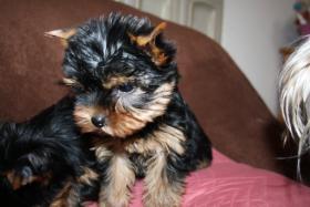 Foto 2 Yorkshire Terrier Welpen, VDH/FCI
