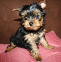 Foto 3 Yorkshire Terrier Welpen, VDH/FCI