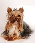 Yorkshire Terrier black & tan super mini Deckrüde