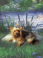 Foto 4 Yorkshire Terrier black & tan super mini Deckrüde