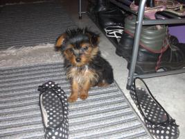 Yorkshire Terrier mini Mix 5monate alt