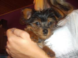 Foto 2 Yorkshire Terrier mini Mix 5monate alt