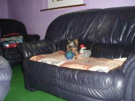 Foto 2 Yorkshire Terrier rüde extra mini  mit Stammbaum