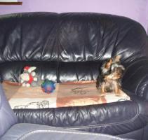 Foto 3 Yorkshire Terrier rüde extra mini  mit Stammbaum