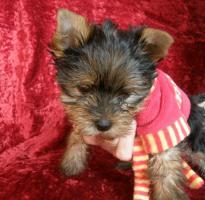 Foto 2 Yorkshire Terrier verkaufen