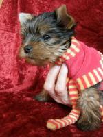 Foto 3 Yorkshire Terrier verkaufen