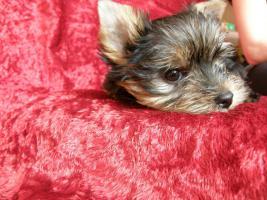 Foto 4 Yorkshire Terrier verkaufen