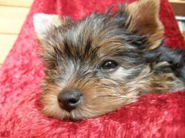 Foto 5 Yorkshire Terrier verkaufen