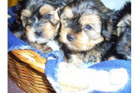 Yorkshire-Terrier- Welpen