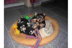 Foto 2 Yorkshire-Terrier- Welpen