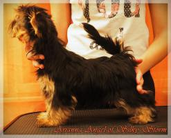 Foto 4 Yorkshire Terriers for sale beautiful babies