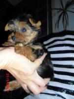 Foto 4 Yorkshire*baby ALICE ..entzückendes Minimädchen