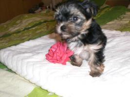 Yorkshirr Terrier Hündin 7,5 Wochen alt