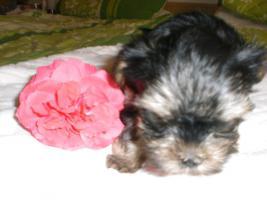 Foto 2 Yorkshirr Terrier Hündin 7,5 Wochen alt