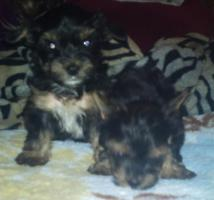 Foto 2 Yorky Baby