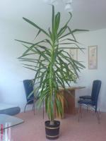 Yuccapalme zu verkaufen