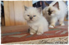 Foto 3 ZAUBERHAFTE UND VERSCHMUSTE HEILIGE-BIRMA BABYS