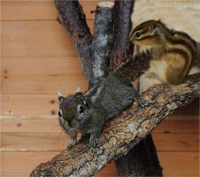 Foto 2 Zahme Streifenhörnchen Rothörnchen Chin.Baumhörnchen