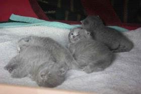 Foto 5 Zauberhafte BKH Babys in blue