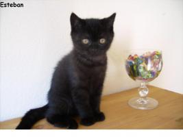 Zauberhafte BKH-Kitten